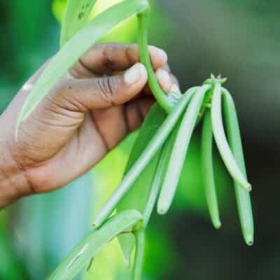 Vanillede Madagascar : Début de la campagne 2021-2022